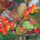 Image of American cranberrybush