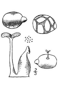 Image of Columbian watermeal