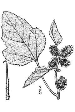 Image of rough cocklebur