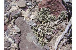 Image of xanthoparmelia lichen