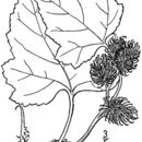 Image of Canada cocklebur