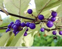 Image of Japanese callicarpa