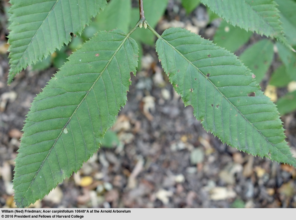 Image of Hornbeam-leaved Maple