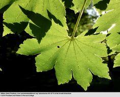 Image of <i>Acer pseudosieboldianum</i> ssp. <i>takesimense</i> (Nakai) P. C. DeJong