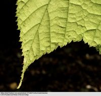 Image of striped maple