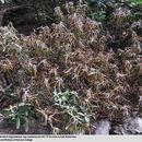 Image of <i>Rhododendron degronianum</i> ssp. <i>heptamerum</i>