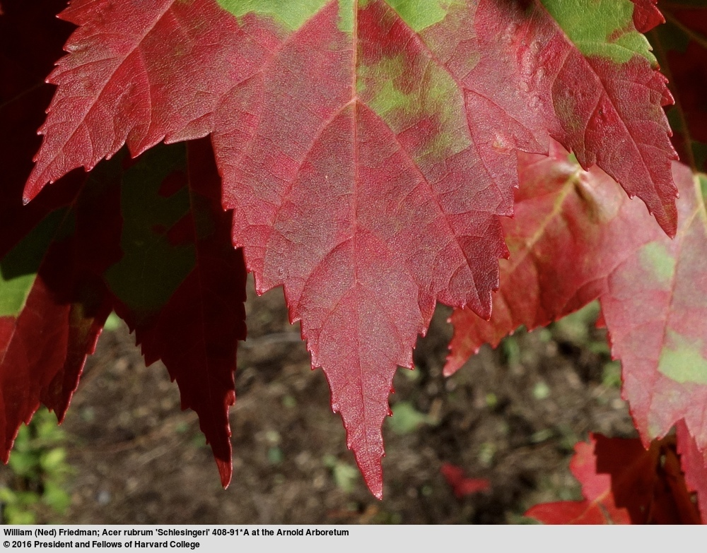 Image of Red Maple
