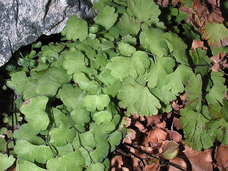 Image of Maidenhair Fern