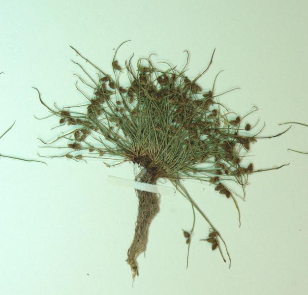 Image of smallflower halfchaff sedge
