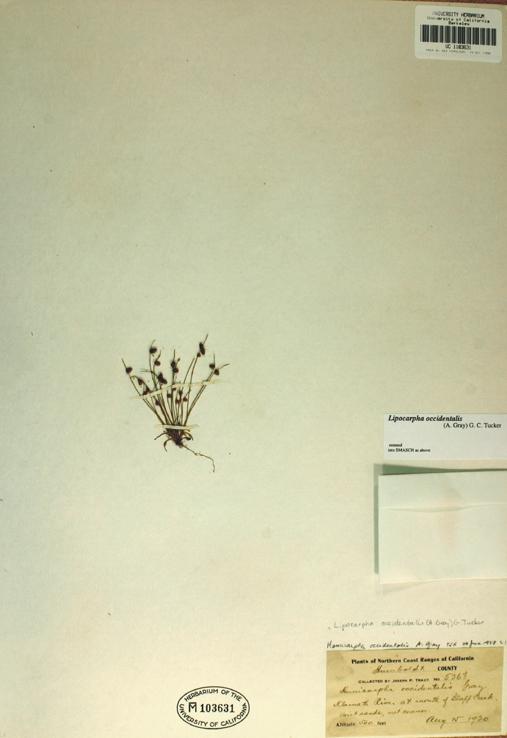 Image of <i>Lipocarpha occidentalis</i> (A. Gray) G. C. Tucker