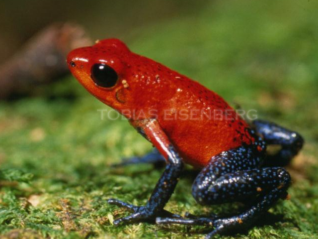 Image of Flaming Poison Frog