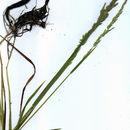 Image of spike bentgrass