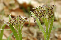 Image of <i>Luzula sylvatica</i> ssp. <i>sieberi</i> (Tausch) K. Richt.