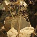 Image of <i>Smyrnium perfoliatum</i> L.