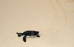 Image of Green Sea Turtle