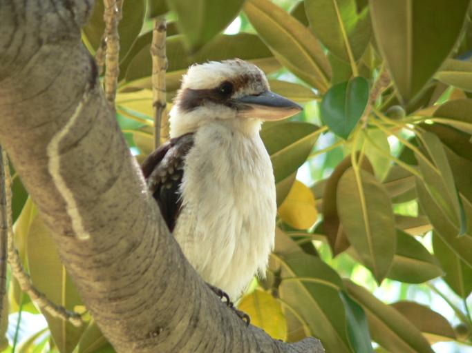 Image of Laughing Kookaburra