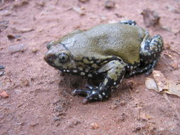 Image of Muller's Termite Frog