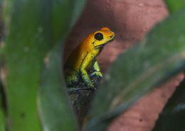 Image of Black-legged Poison Frog