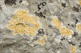 Image of <i>Caloplaca ochracea</i> (Schaer.) Flagey