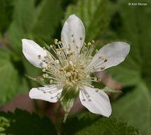 Image of California blackberry