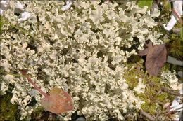 Image of Curled Snow Lichen