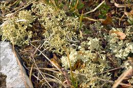 Image of <i>Flavocetraria nivalis</i> (L.) Kärnefelt & A. Thell