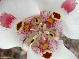 Image of butterfly mariposa lily