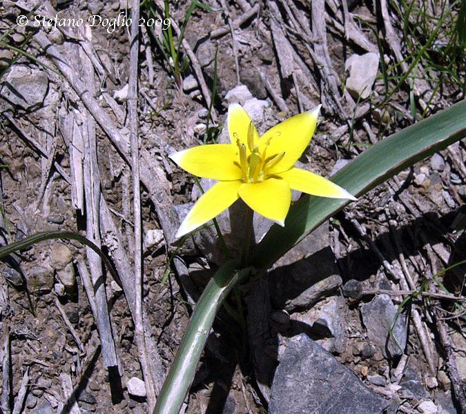 Image of <i>Tulipa dasystemonoides</i> Vved.