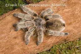 Image of Common Rose Hair Tarantula