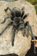 Image of Brazilian Black Tarantula