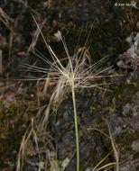 Image of big squirreltail