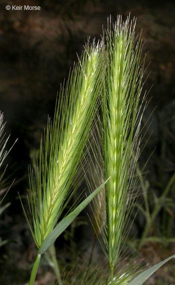 Image of hare barley