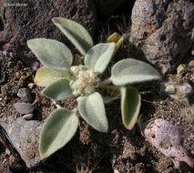 Sivun <i>Croton setiger</i> Hook. kuva