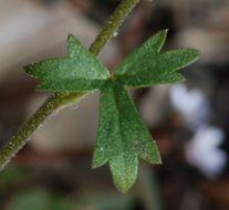 Image of San Francisco woodland-star