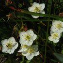 Image of <i>Parnassia californica</i> (Gray) Greene