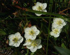 Image of California grass of Parnassus