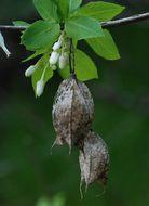 Image of Sierra bladdernut