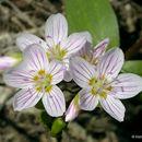 Image of <i>Claytonia lanceolata</i> Pursh