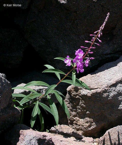 Image of rosebay willowherb