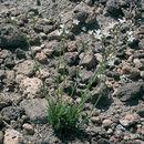 Image of Crater Lake sandwort