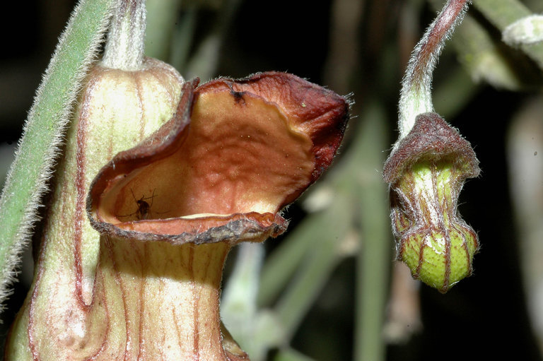 Image of California dutchman's pipe