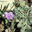 Image of <i>Scabiosa turolensis</i> Pau