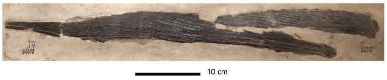 Image of Protosphyraena Leidy 1857