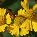 Image of <i>Helenium autumnale</i> var. <i>grandiflorum</i>