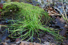 Image of Nuttall's quillwort
