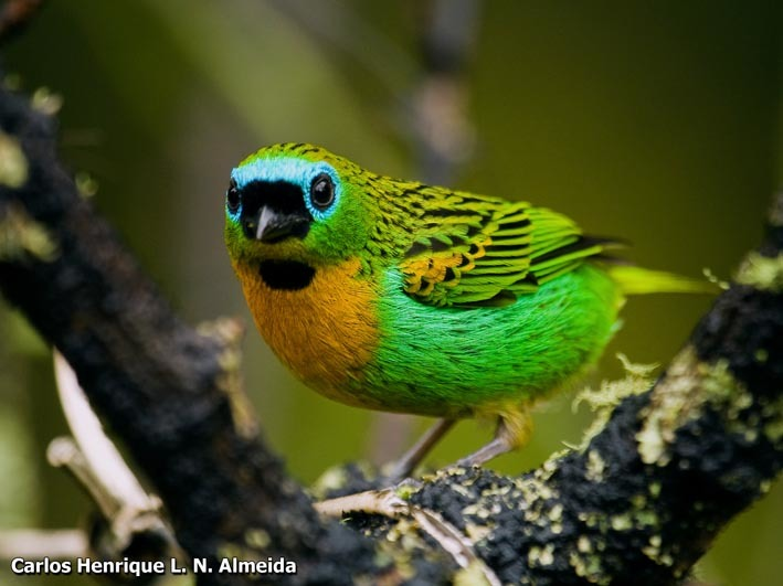 Image of Brassy-breasted Tanager