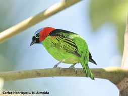 Image of red-necked tanager
