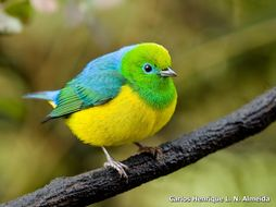 Image of blue-naped chlorophonia