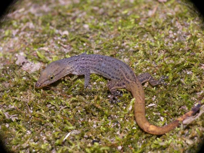 Image of Panama Least Gecko
