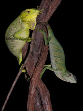 Image of Berthold's Bush Anole